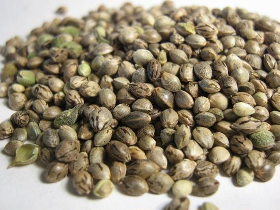 Семена конопли торкающие конопля для курения приготовление